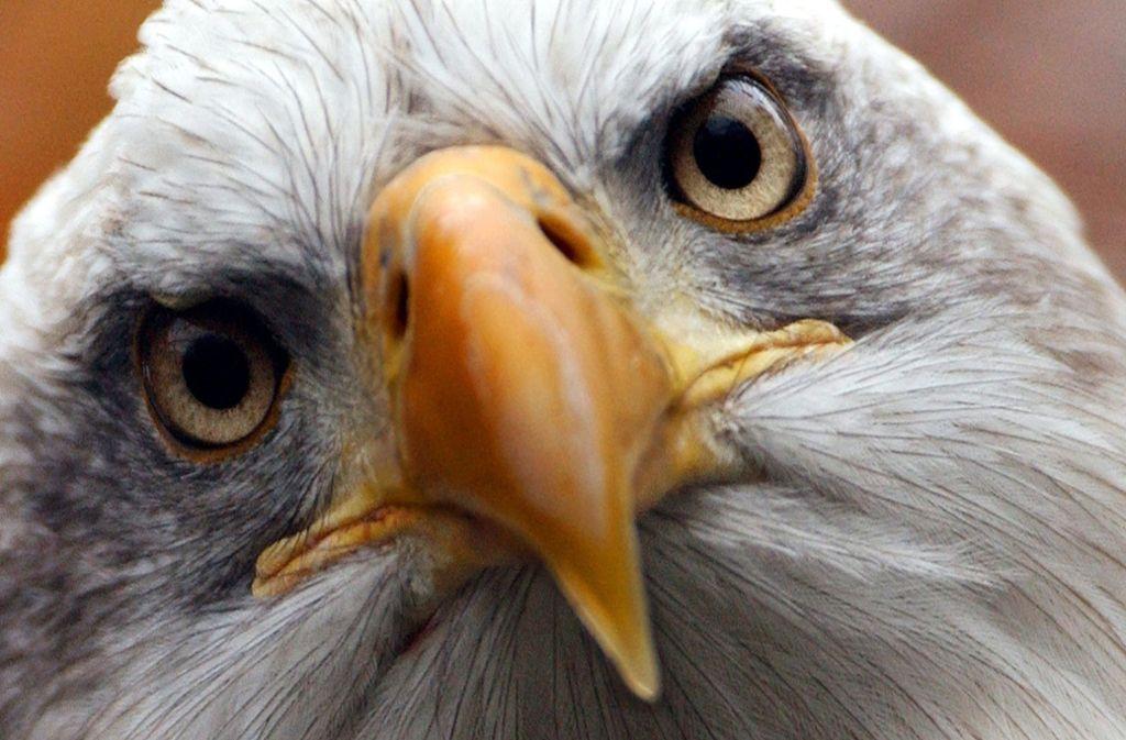 Derzeit stehen damit mehr als 1600 Arten – darunter  der seltene Weißkopfadler, das Symboltier der USA – in den Vereinigten Staaten  und in deren Territorien unter besonderem Schutz. Foto: dpa/
