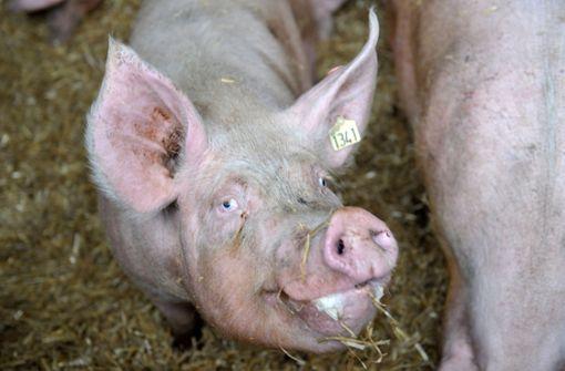 Immer mehr Schweinehalter geben auf