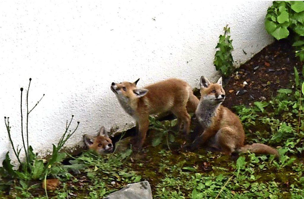 Die Füchse im Garten der Familie S. Foto:
