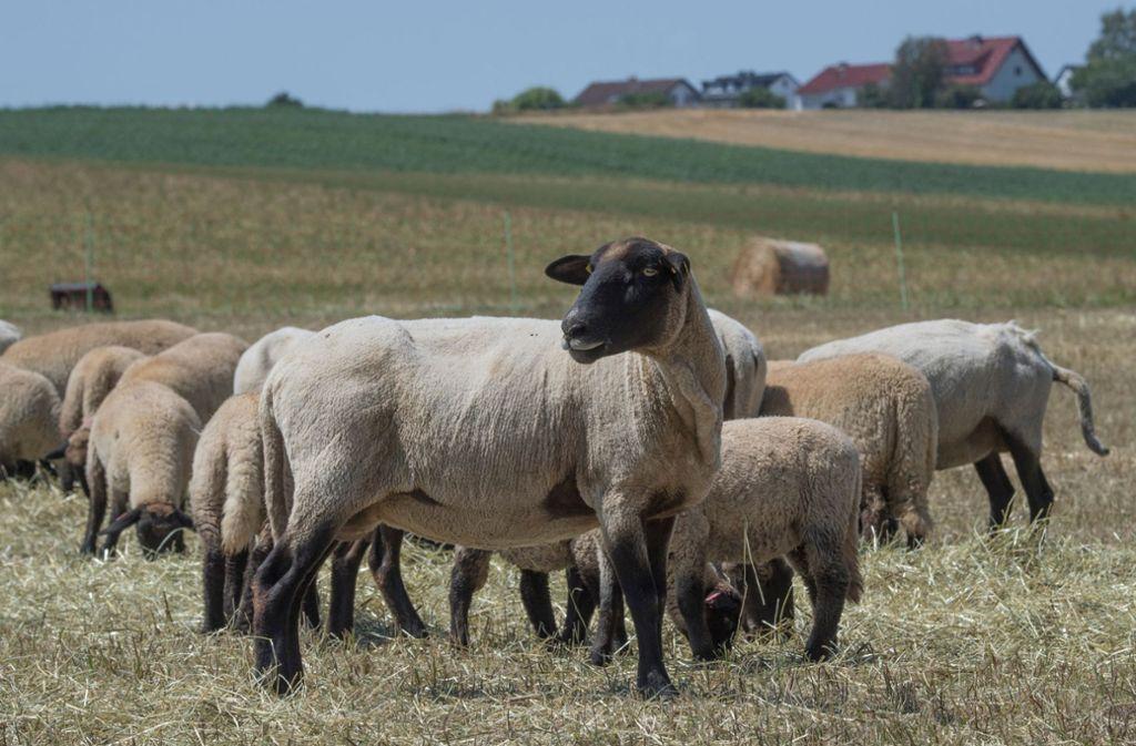 Im Nordschwarzwald sind erneut Schafe gerissen worden (Symbolfoto). Foto: dpa