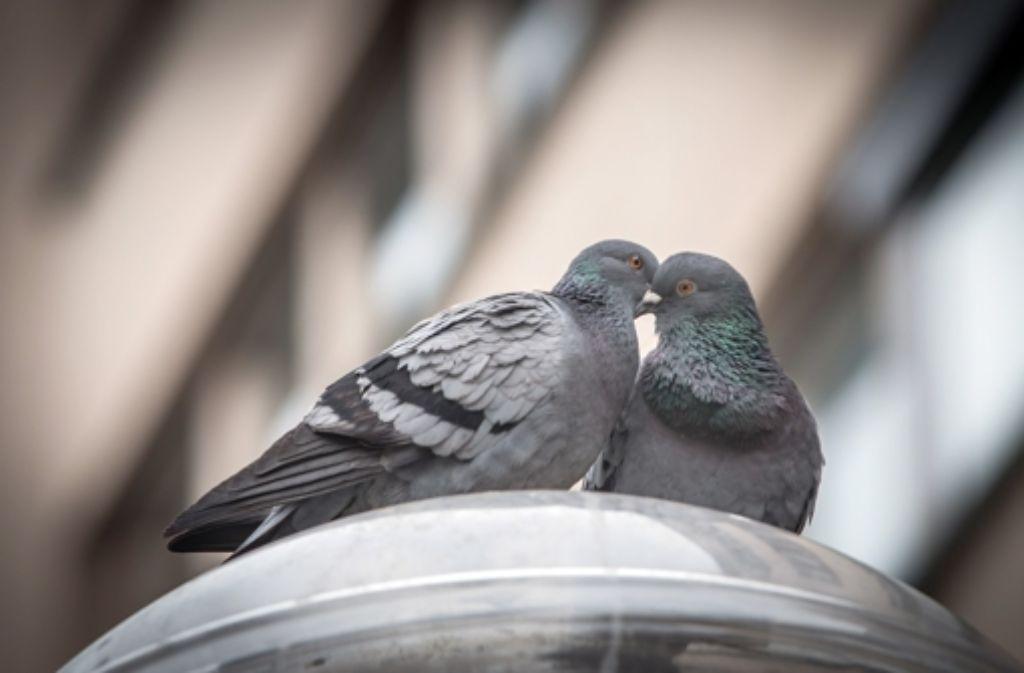 Hübsch anzuschauen oder abstoßend? An Tauben scheiden sich die Geister. Die einen füttern die Tiere, die anderen wollen sie nur los werden. Foto: Lichtgut/Achim Zweygarth