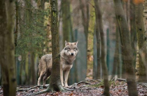 Weitere Leser melden Wolfsichtungen