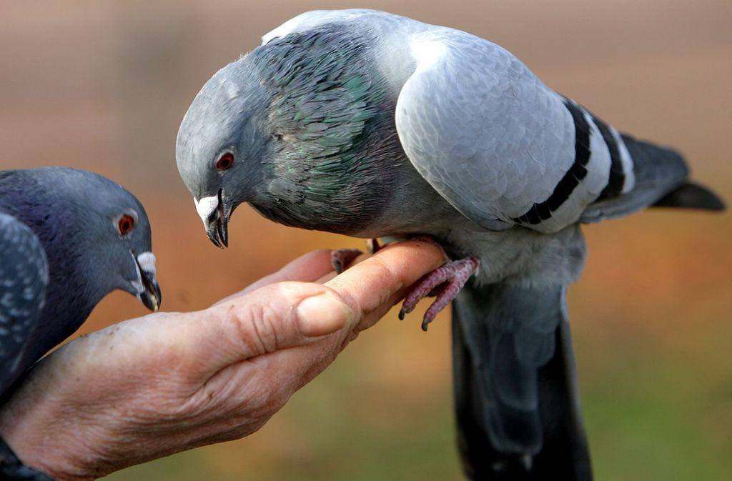 Tauben sind Menschen gewöhnt und fressen einem schon mal aus der Hand. Das muss man wollen. Foto: dpa