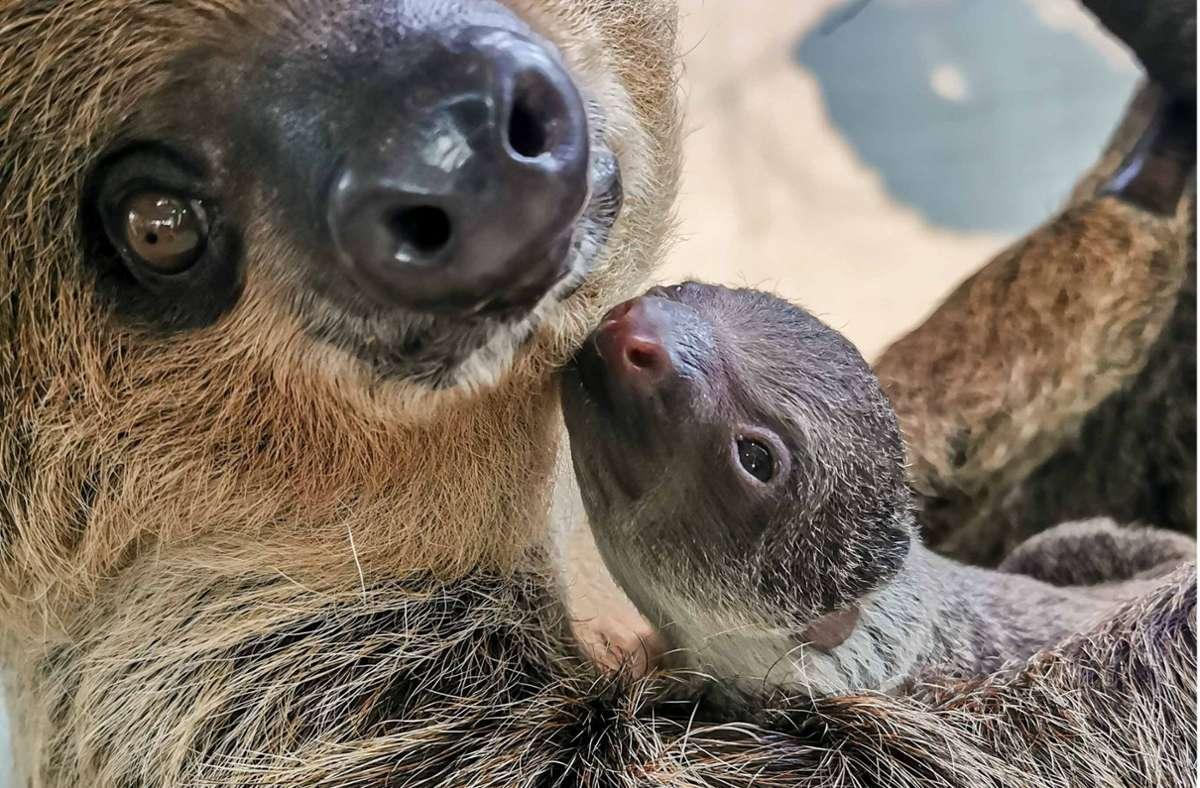 Faultier-Mama Marlies mit dem etwa zwei Monate alten Nachwuchs. Dieses Foto hat auf Instagram besonders viel Aufmerksamkeit erhalten. Foto: /Wilhelma Stuttgart/Jessy Henssler