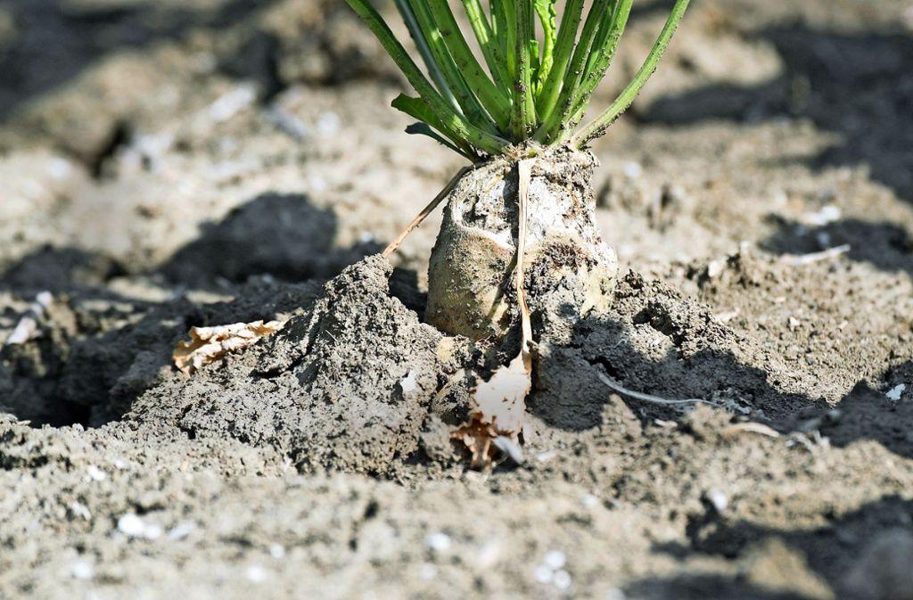 Trockene Sommer und Schädlinge setzen den Zuckerrüben zu. Foto: dpa/Julian Stratenschulte