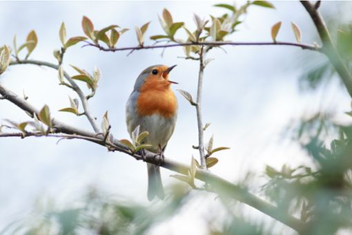 Wer singt da? Vogelstimmen erkennen per App.