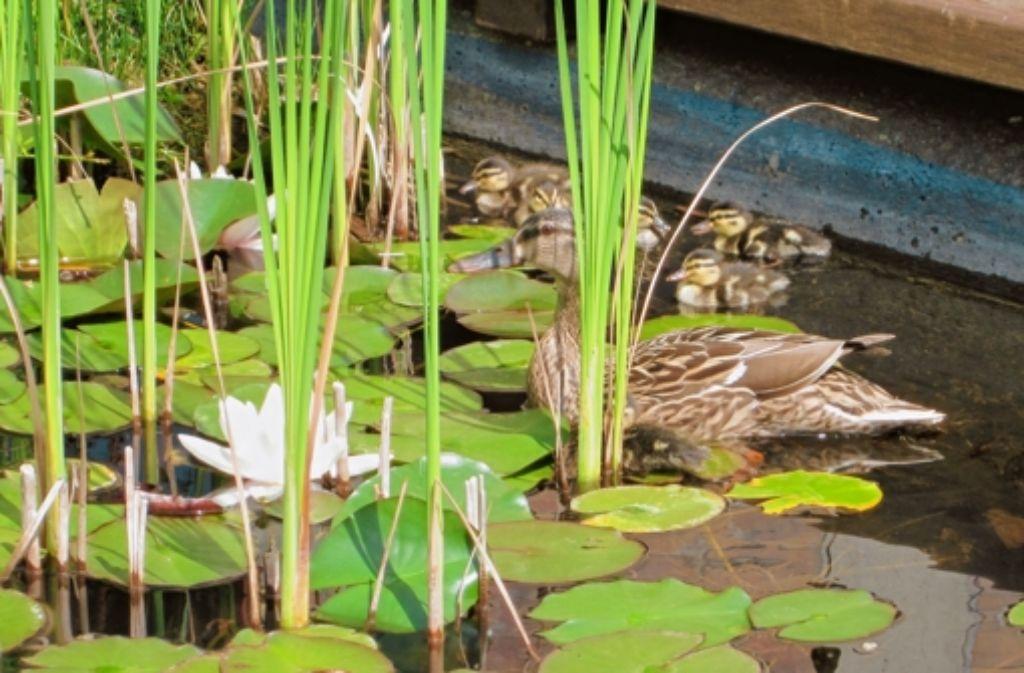 Mama Ente mit ihren neun Küken Foto: PGH