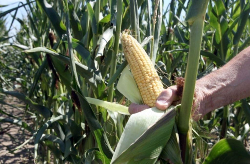 Mais schmeckt auch den Schädlingen. Gentechnik soll die Resistenz verbessern. Foto: dpa