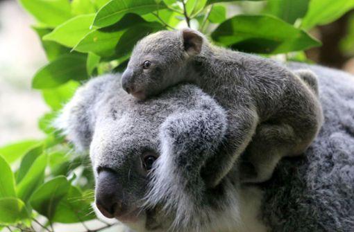 """Koala-Baby """"Ash"""" geboren: Hoffnung nach den Buschbränden"""