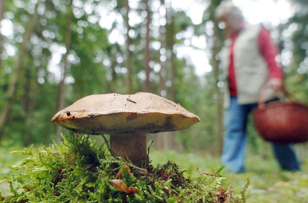 Der Maronenröhrling gehört zu den besonders stark radioaktiv belasteten Pilzarten. Foto: dpa/Armin Weigel