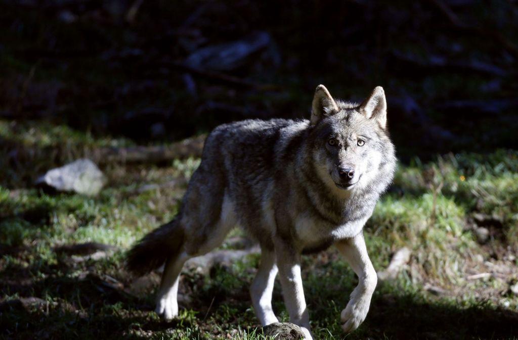 Der Wolf ist zurück in Deutschland – das finden aber nicht alle gut. Foto: AFP