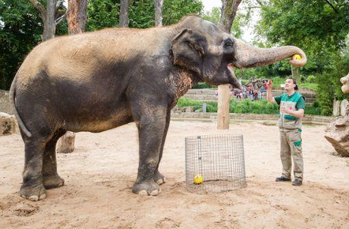 Elefantenkuh Zella gibt wieder das WM-Orakel