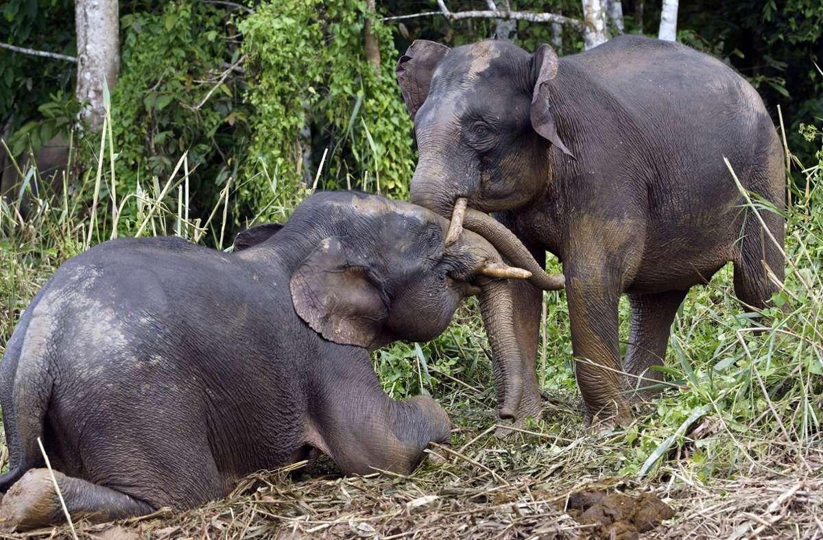 Borneo-Zwergelefanten sind vom Aussterben bedroht. Foto: imago/imagebroker/imageBROKER/SeaTops