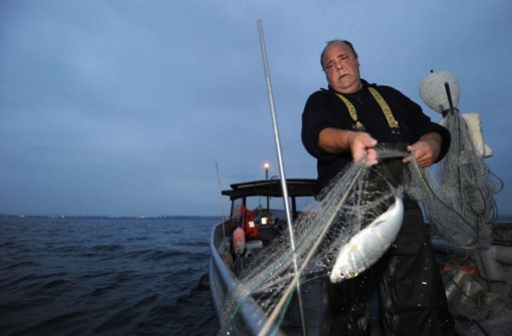 In den Netzen der Bodenseefischer finden sich immer weniger Felchen. Foto: dapd