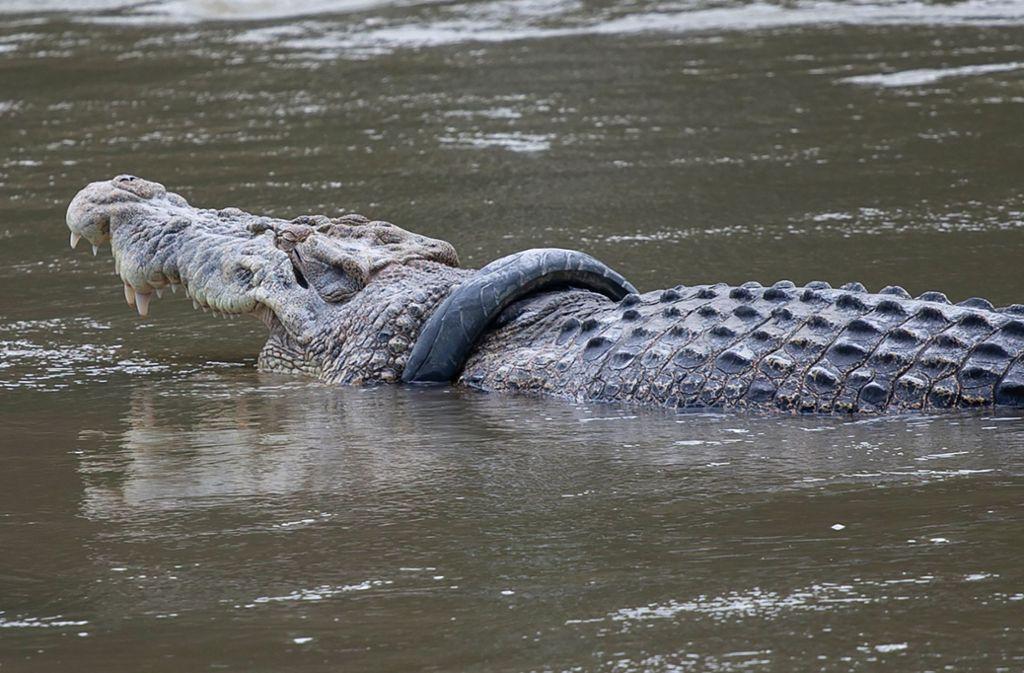 Seit mehreren Jahren steckt das Krokodil bereits in dem Motorradreifen fest. Foto: dpa/Opan