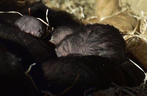 Überraschung: Zweites Gorilla-Baby geboren
