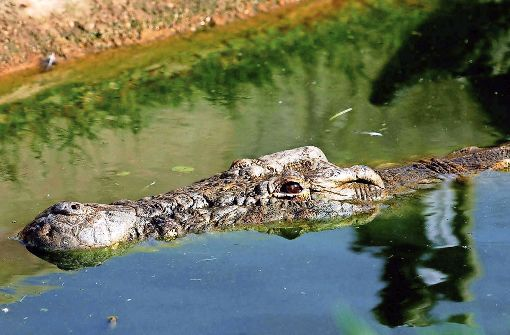 Killer-Krokodil geschnappt