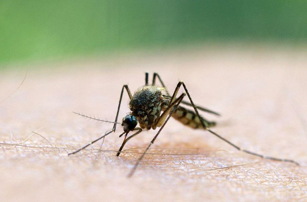 Die Stechmücken spüren, dass es kälter wird und suchen sich Orte zum Überwintern. Foto: dpa-Zentralbild