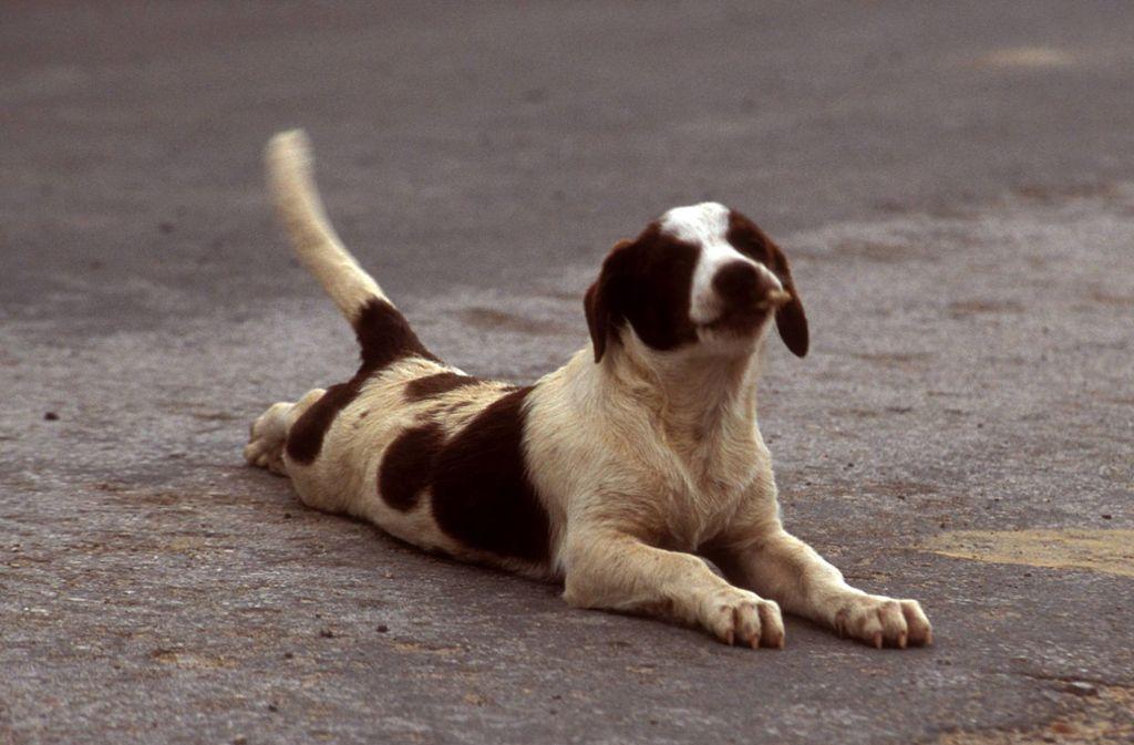 Nicht immer heißt das Schwanzwedeln, dass es dem Hund gut geht. (Symbolbild) Foto: imago images/Redeleit