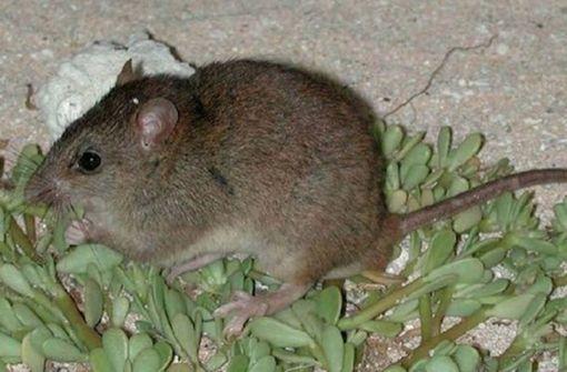 Erstes Säugetier durch Klimawandel ausgestorben