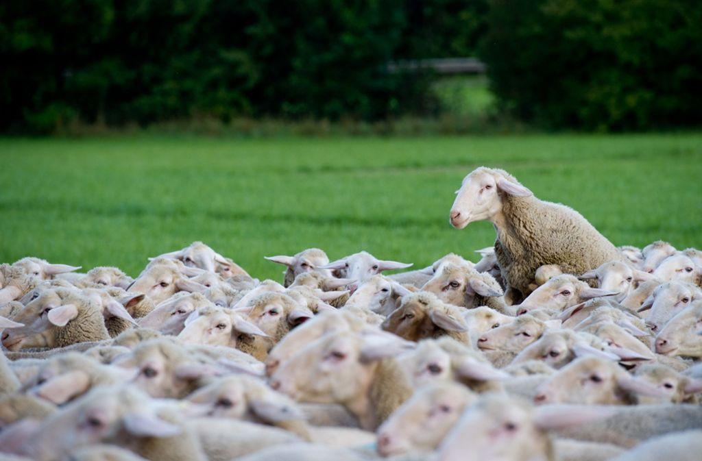 Schafe auf einer Wiese   in Markgröningen: Knapp die Hälfte der Fläche Baden-Württembergs wird landwirtschaftlich genutzt. Foto: dpa