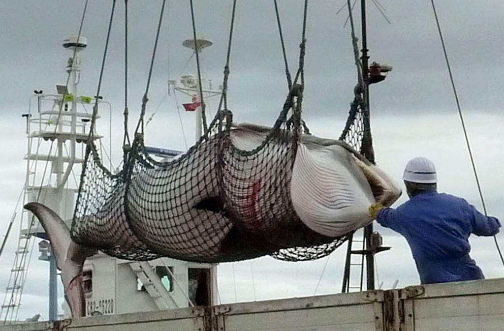 Ein Zwergwal, der von einem Schiff abgeladen wird. (Archivbild) Foto: Kyodo News