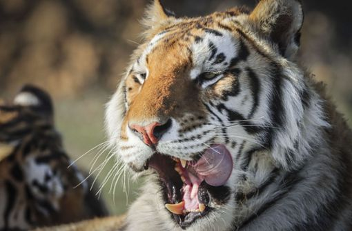 Tiger in New Yorker Zoo mit dem Virus infiziert