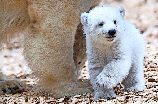 Eisbärbaby wagt sich ins Freie