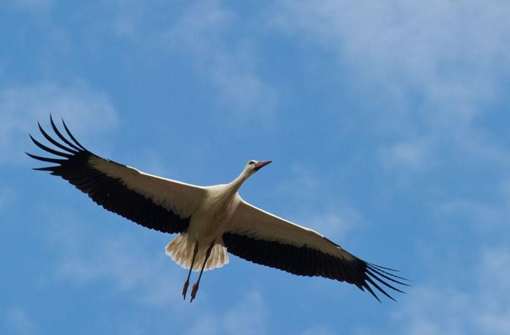 Wohin fliegen die Störche, die einen Sender tragen? Die Movebank speichert ihre Bewegungsprofile. Foto: dpa