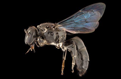 Seit 100 Jahren verschollene Bienenart in Australien entdeckt