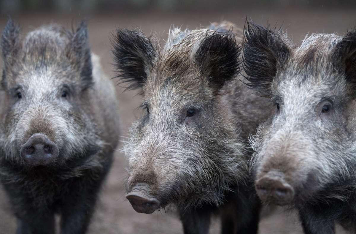Wildschweine sorgten für mehrere Unfälle auf der A6 (Symbolbild) Foto: dpa/Ralf Hirschberger