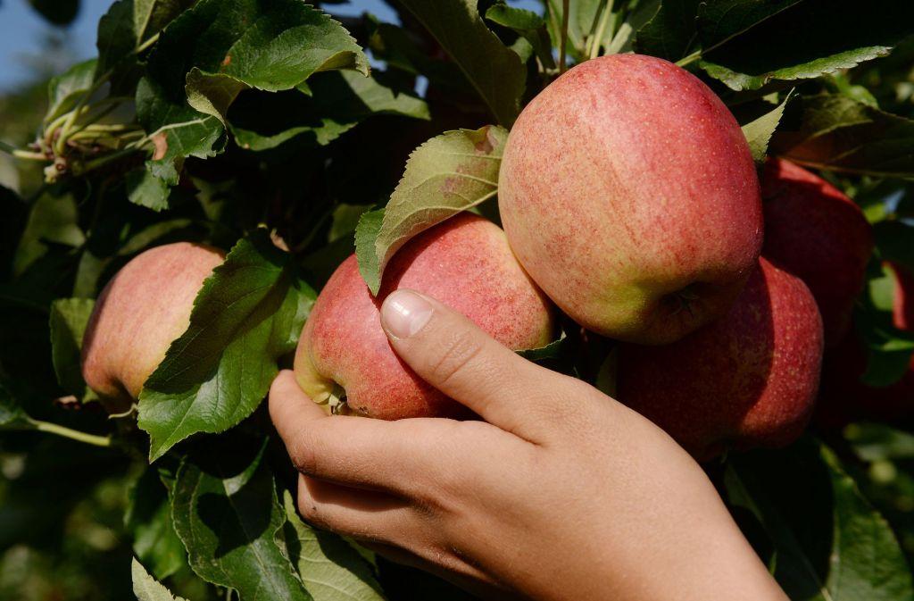 850 Obstbauern im Kreis  Böblingen liefern ihre Früchte für den gemeinsamen Saft ab. Foto: dpa