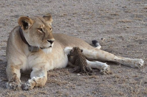 Löwin säugt Leoparden-Junges