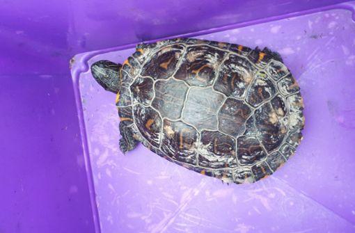 Schildkröte Susi stört den Bahnverkehr