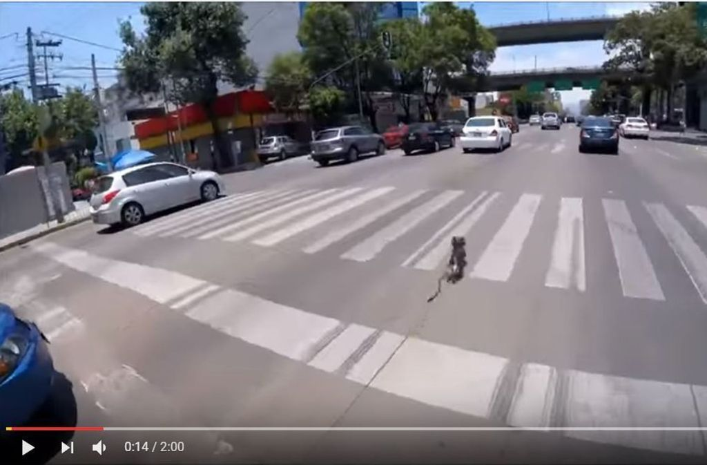 Der Yorkshire Terrier rennt über eine mehrspurige Straße in Mexico City. Foto: Screenshot Youtube / @Alexis Gonzalez