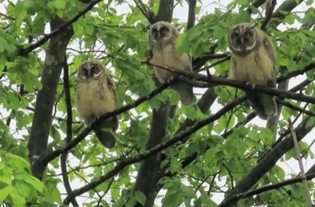 Haben sich in Sillenbuch auch bei der Kita-Pusteblume auf den Bäumen getummelt: junge Waldohreulen. Foto: Karl-Peter Schlüter