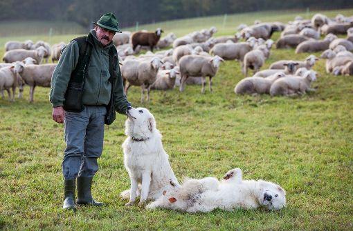 Hunde sollen Schafherden vor Wolf schützen