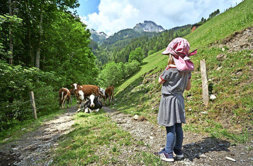 Und nun? Kühe auf dem Weg runter von der Amoseralm Foto: Steffen Schmid