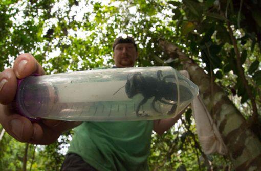 Größte Biene der Welt wiedergefunden