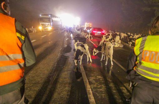 176 Kälber aus brennendem Tiertransporter gerettet