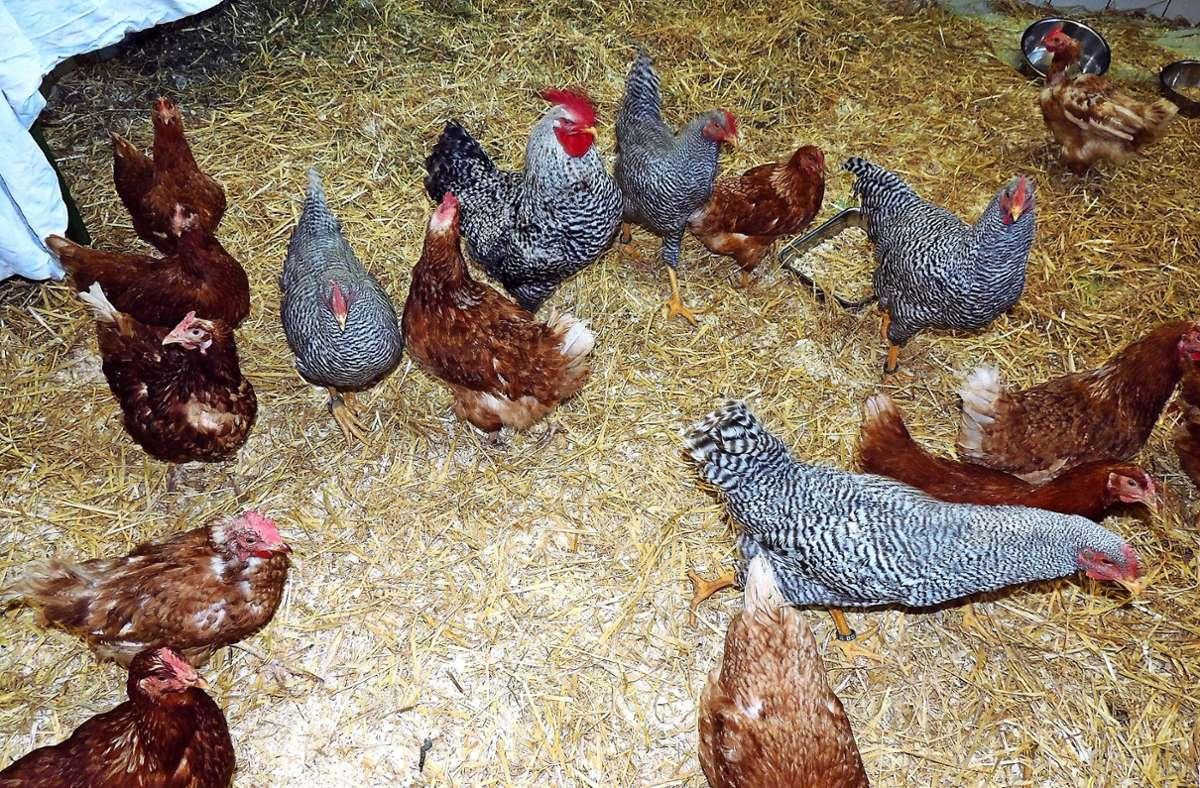 Die Ende Juli eingetroffenen 25 Hennen haben bereits neue Besitzer. Acht Hähne suchen noch Tierfreunde. Foto: