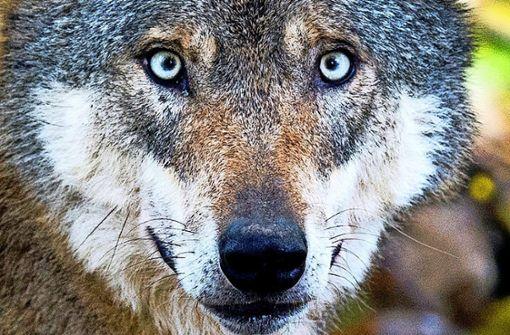 Hat der Kallenberger Wolf eine Ziege getötet?