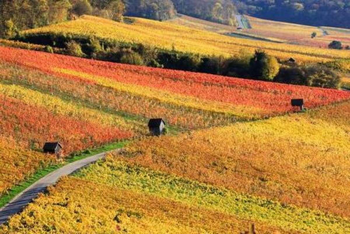Bunt sind schon die Wälder... und die Weinberge erst. Im Spätsommer und Herbst locken diese mit ihrer Farbenpracht ganz besonders zu einer Fahrradtour. Foto: Shutterstock/Marc Stephan