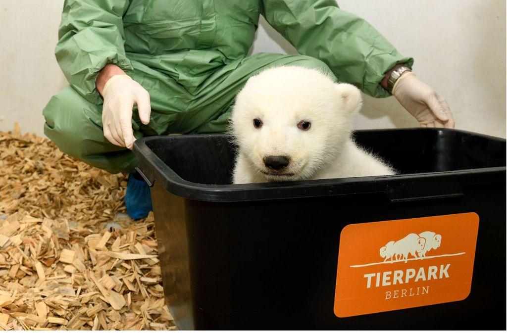 Mit runden Knopfaugen guckt das Eisbärenmädchen aus der Box. Foto: Berliner Tierpark