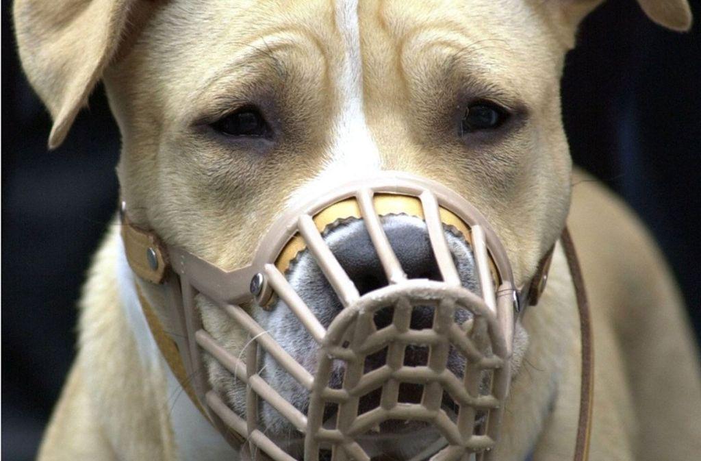 Steht auf der Liste der baden-württembergischen Kampfhundeverordnung: American Staffordshire Terrier. Foto: dpa