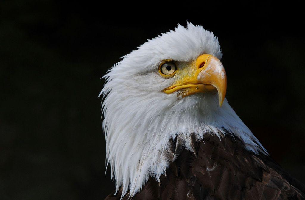 Alles im Blick: das Adlerauge dient den Forschern als Vorbild. Foto: Fotolia