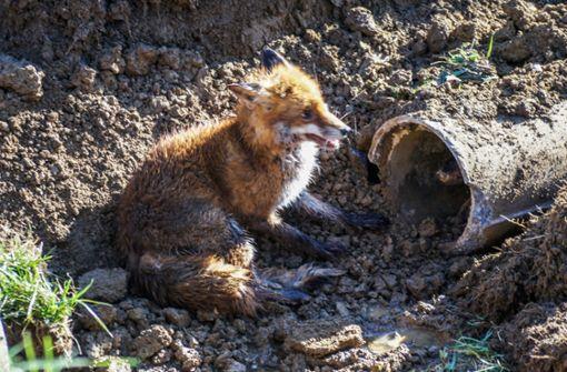 Hund jagt Fuchs – beide bleiben in Rohr stecken