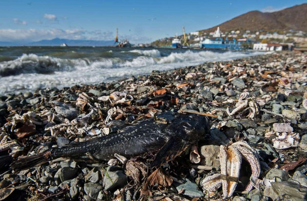 Ein toter Fisch liegt am Strand von Khalaktyr auf der Halbinsel Kamtschatka zwischen verendeten Seesternen. Foto: Dmitry Sharomov/Greenpeace Russi/dpa