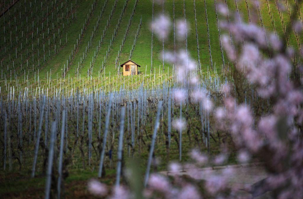 Auch in den Großheppacher Weinbergen kehrt der Frühling ein. Foto: Gottfried Stoppel