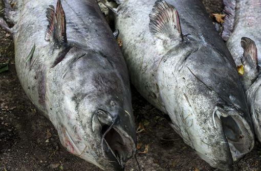 Fische verenden im See ohne Wasser